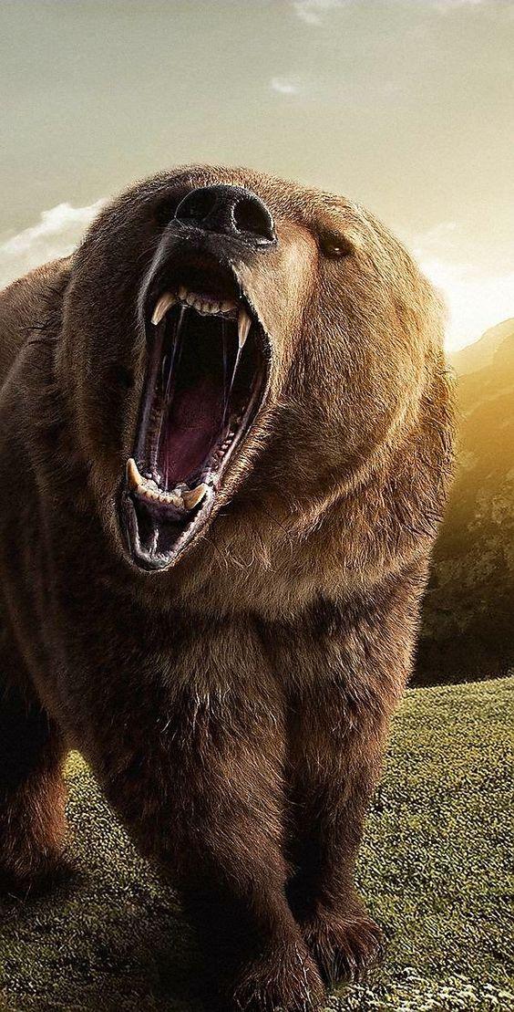 Cacería Ilegal pone en Peligro al Oso Grizzly en Alaska #bears