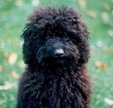 Stella Toy Poodle Www Poodleville Webs Com Toy Poodle Black