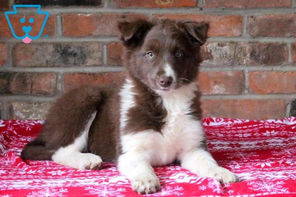 Nala Collie Puppies For Sale Border Collie Puppies Collie Puppies