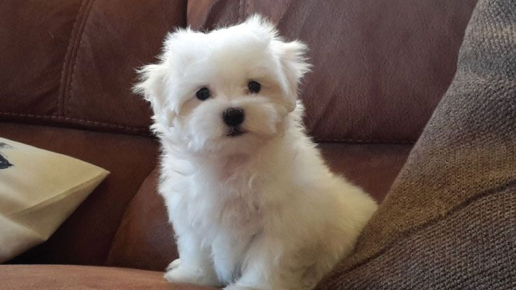 30 Small Hypoallergenic Dogs That Don T Shed With Images Hypoallergenic Dogs Small Mini Dogs Breeds