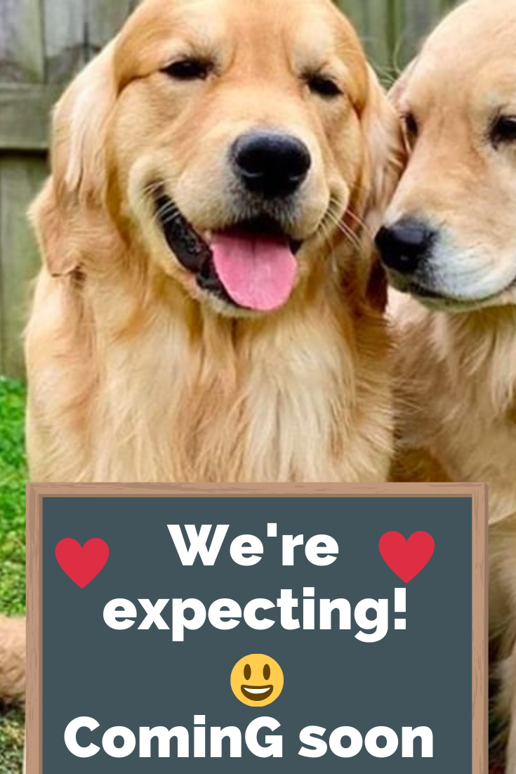 Sweet Golden Retrievers Couple Pose Together For A Photo To Announce They're Expecting Puppies