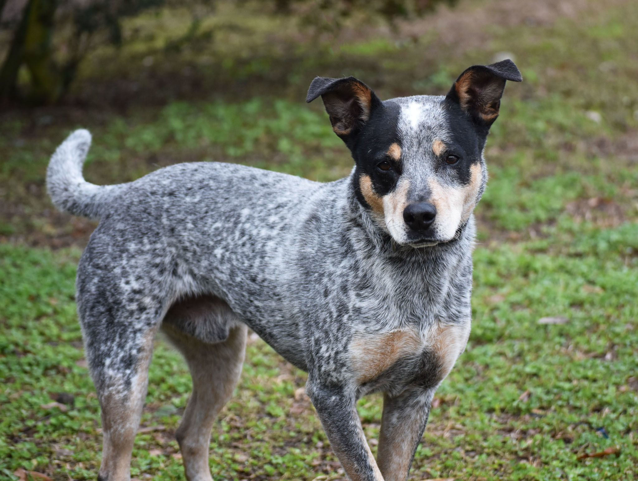 Adopt Merle Luke On Australian Cattle Dog Cattle Dog