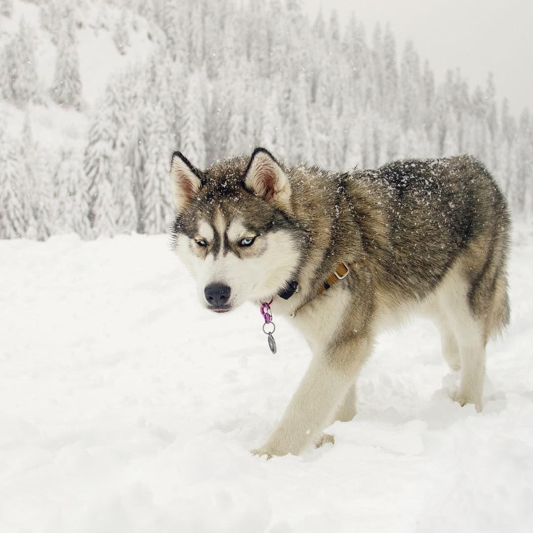 Siberian Husky Ripley With Color Wolf Grey My Husky Has This