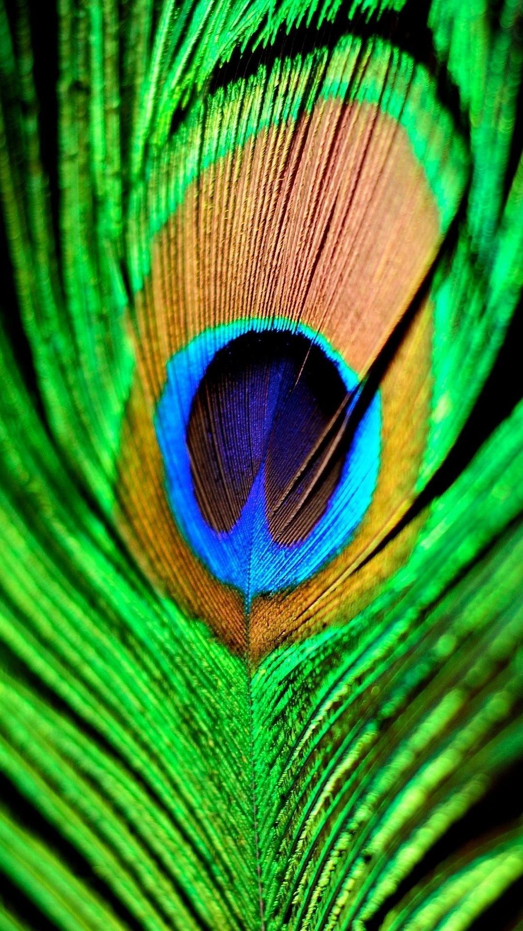 Hd wallpaper mobile phone - Peacock Feather Green Blue Iphone 6 Plus Hd Wallpaper