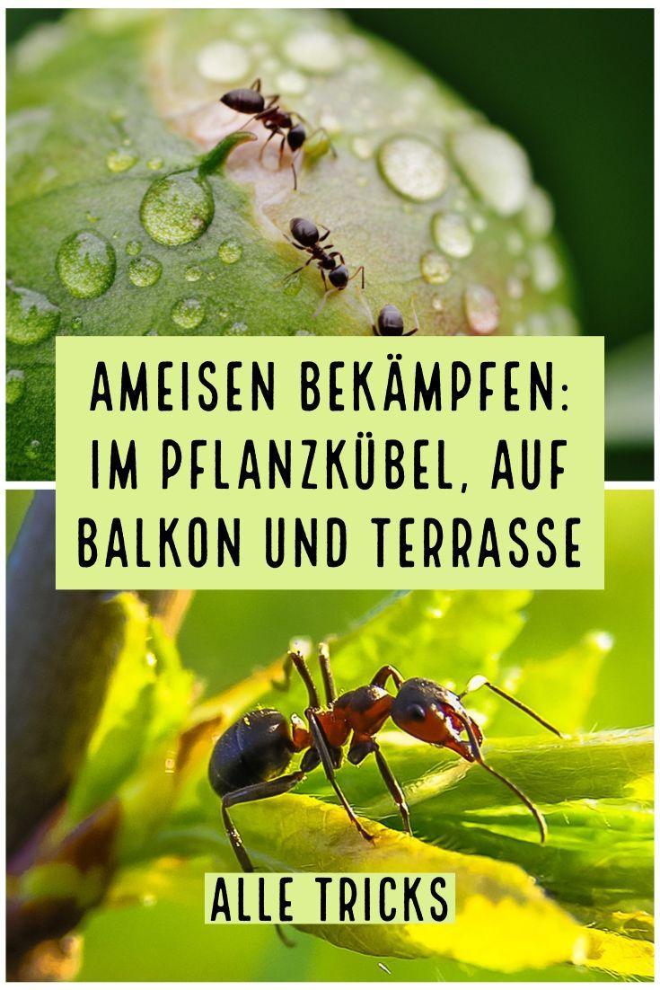 Ameisen Bekampfen Im Pflanzkubel Auf Balkon Und Terrasse Alle Tricks Vivanno In 2020 Ameisen Ameisen Bekampfen Ameisen Loswerden
