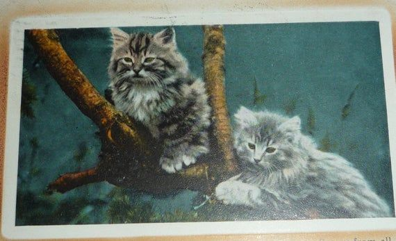 Cute, Fluffy Kittens In a Tree - Secure From All Danger Antique Postcard #fluffykittens
