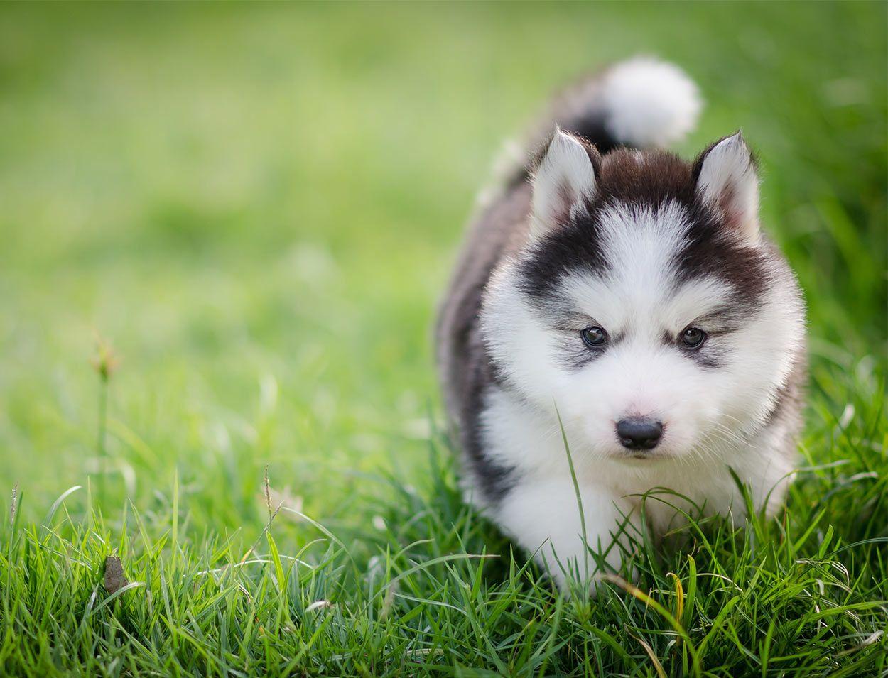 Lovely Doghttps I Redd It Er9x7as369421 Jpg Husky Puppy Puppies Husky