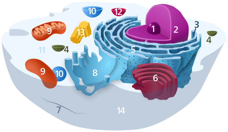 Diagram of a typical animal cell organelles are labelled as follows diagram of a typical animal cell organelles are labelled as follows 1 nucleolus ccuart Gallery