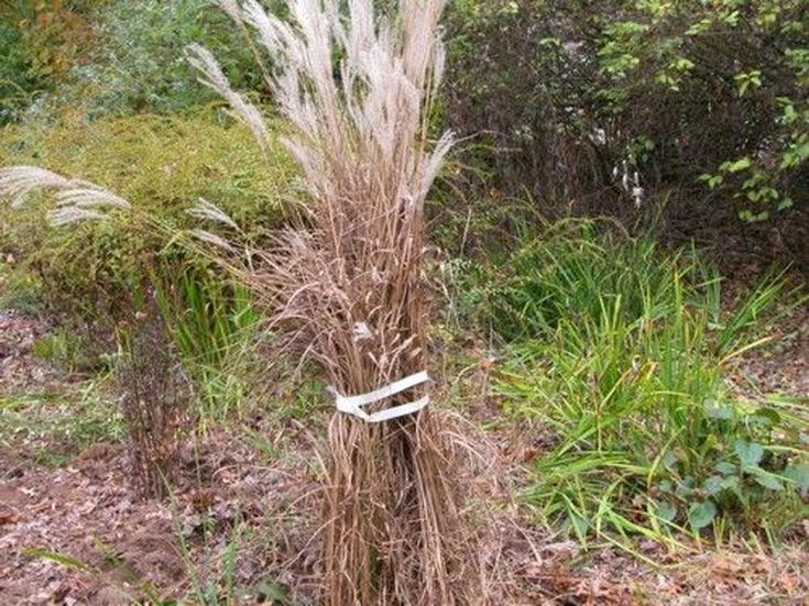 Cutting Back Ornamental Grasses: Try This Easy, No-Mess Technique