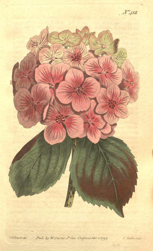 The Botanical Magazine, Plate 438 (Volume 13, 1799) - Category:Hydrangea in art - Wikimedia Commons