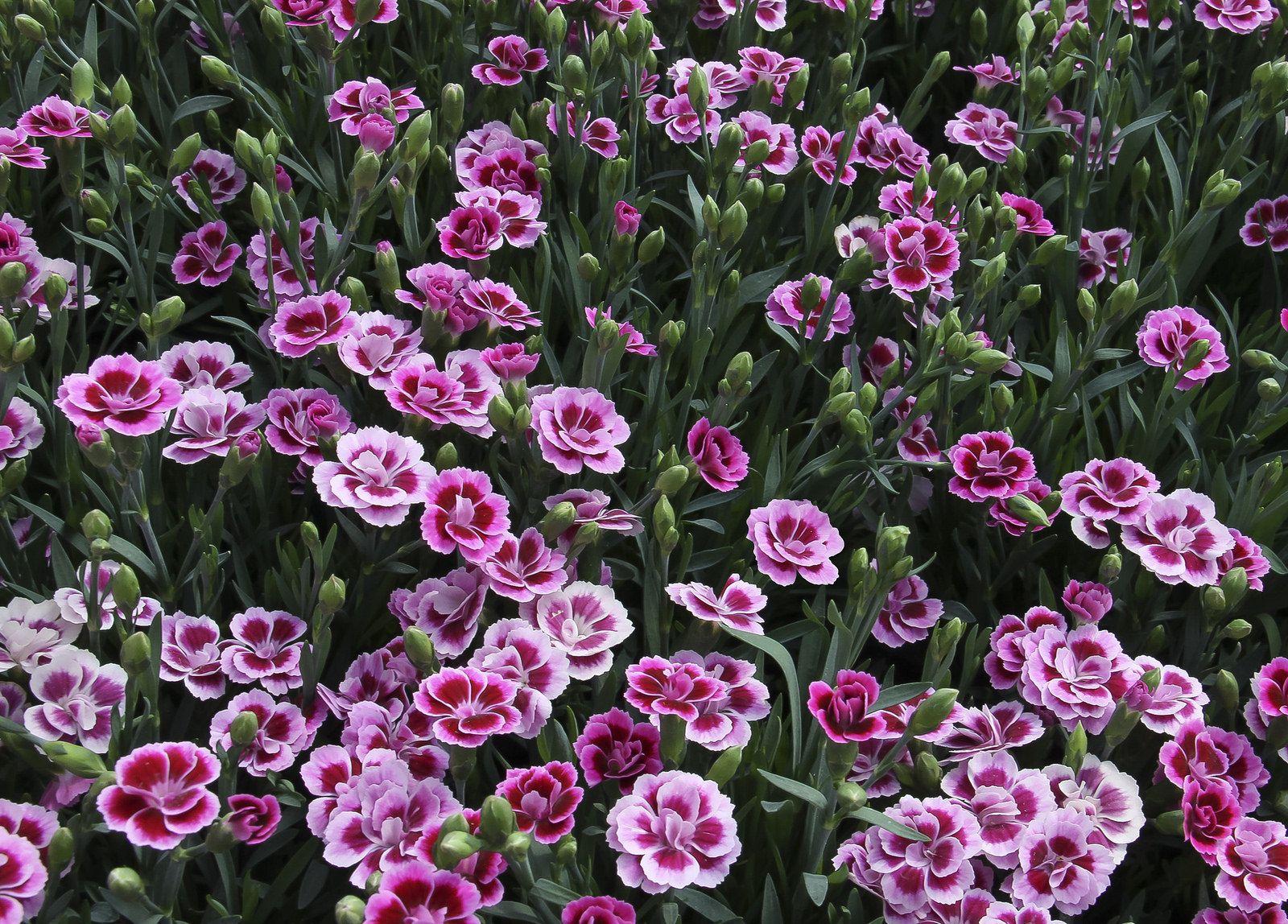Feliz Quinta Flower Brunnen Garten Nelken Brunnen