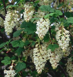Ribes sanguineum ca native white icicle 6x 6 flowering ribes sanguineum ca native white icicle 6x 6 mightylinksfo