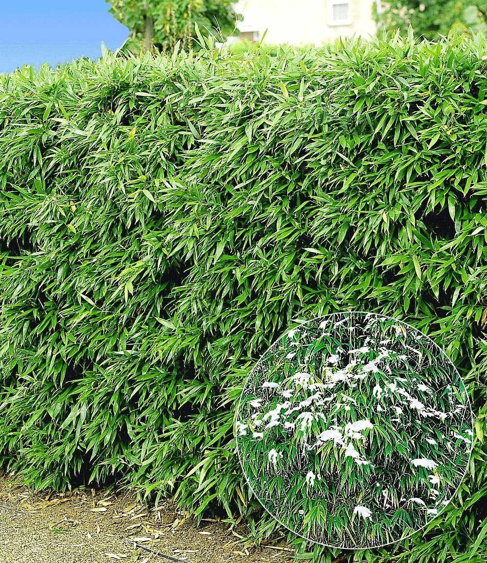 Winterharte Bambus Hecke 5 Pflanzen In 2020 Bambushecke Bambus