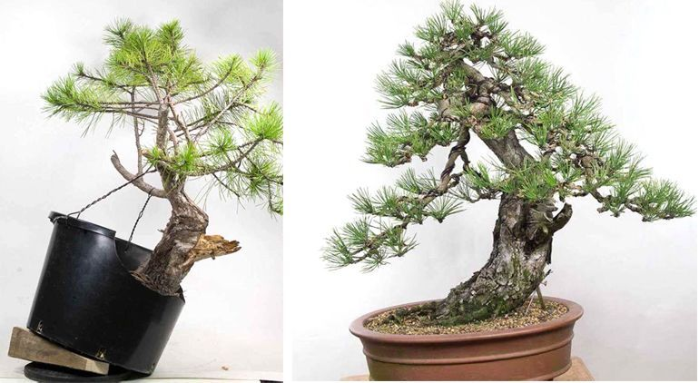 Marvelous Before After Some Serious Bonsai Wiring Bonsai Penjing Wiring Digital Resources Funapmognl