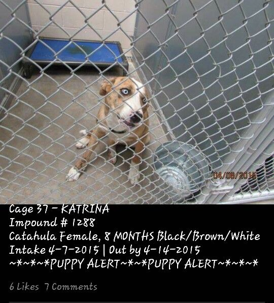 URGENT! PUPPY HAS DEAD THREAD PLEASE HELP! ■ Roswell Animal Control • 705 E. McGaffey, Roswell, NM 88201 • No. 575-624-6722 ■ 8-month-old Catahula X **PUPPY** female Katrina is due out TUESDAY (4-14). ■ Need out of the bldg by WEDNESDAY morning (4-15). ■ They will not hesitate to kill her. ■ Cage #37 | Impound #1288 ■ LINK: https://m.facebook.com/photo.php?fbid=435021969999139&id=176246809209991&set=pb.176246809209991.-2207520000.1428930193.&source=42 ■ MAIN PAGE LINK…
