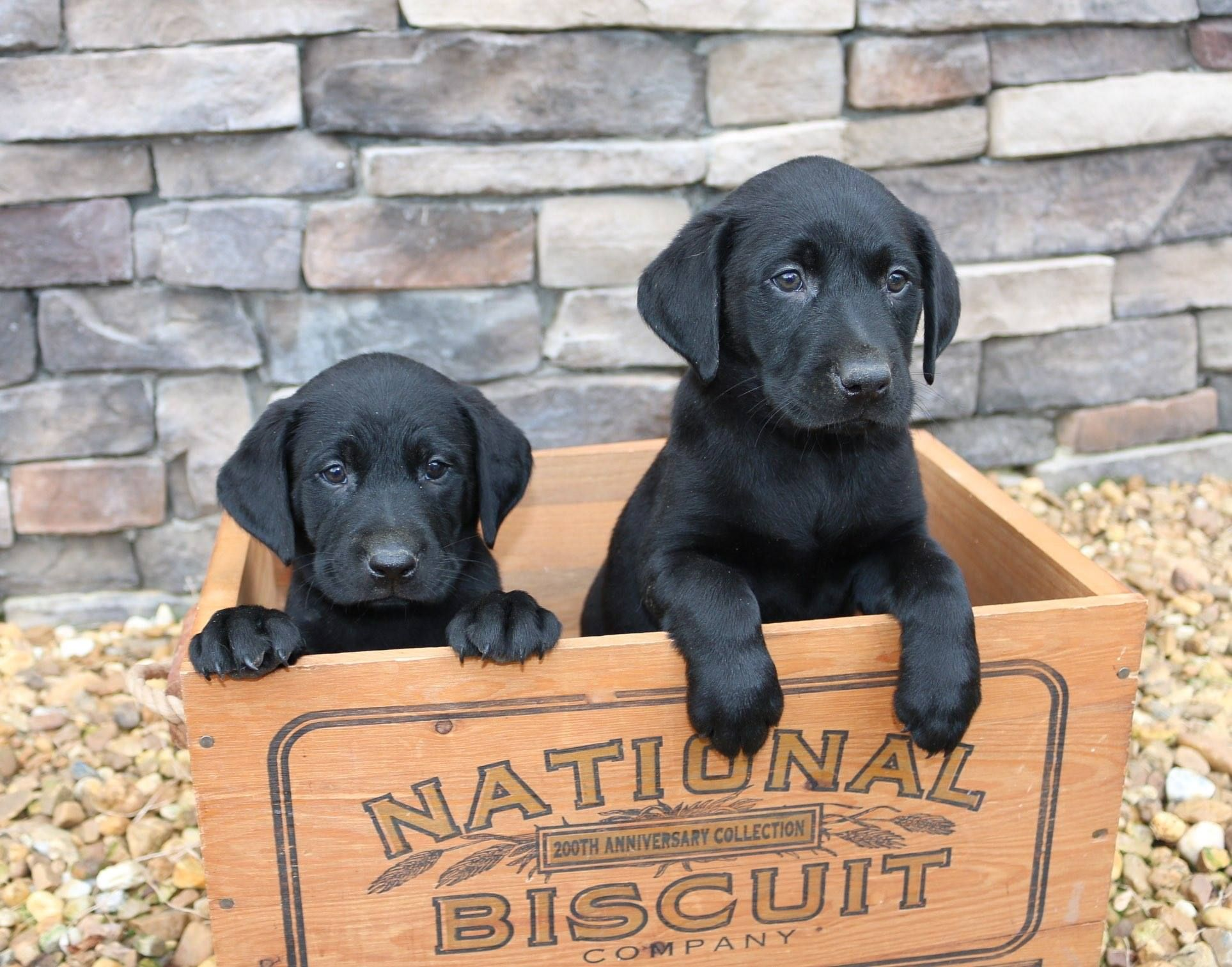 We Still Have 2 Black Male British Labs Available They Are Ready
