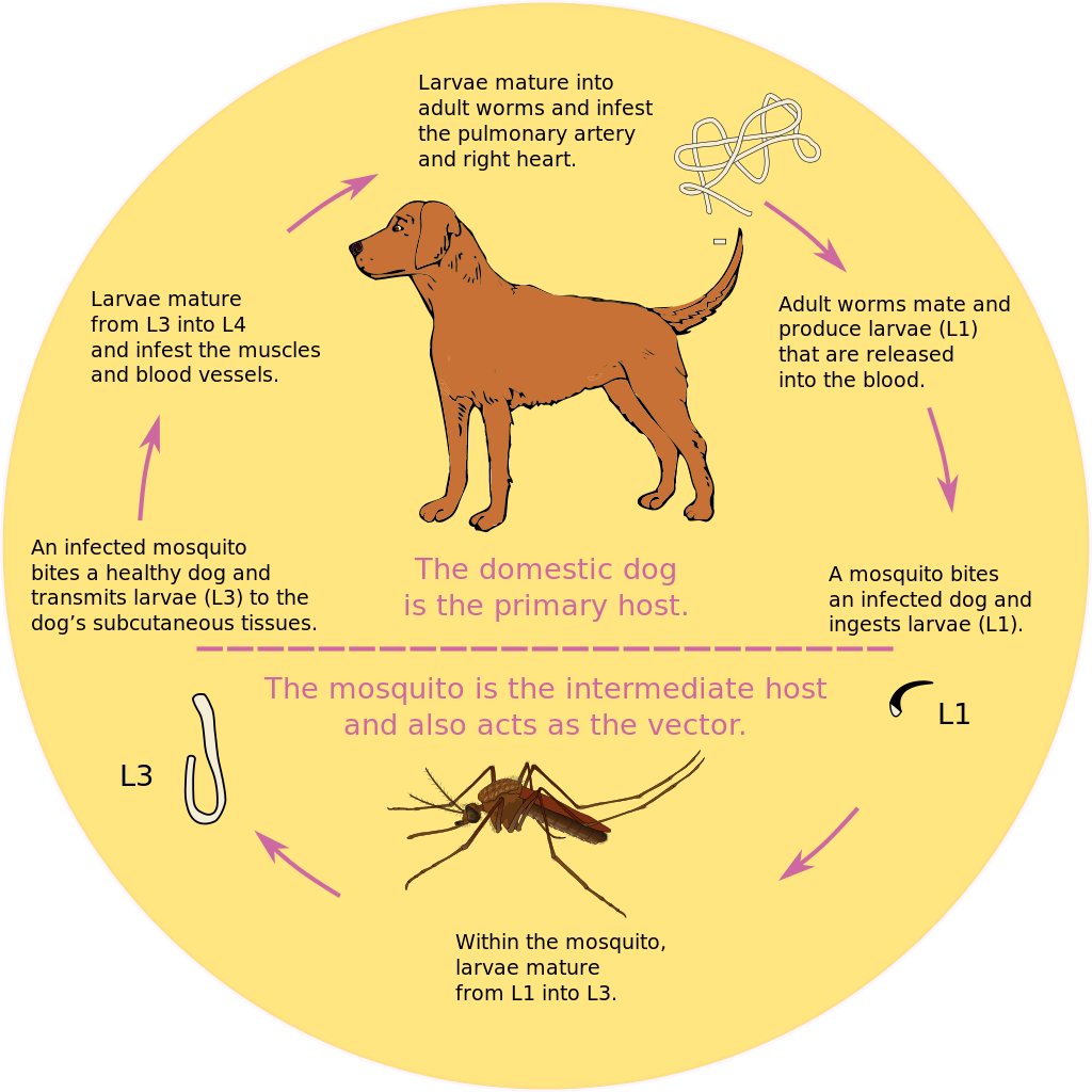 A More Natural Heartworm Protocol For Dogs Dogs, Pet