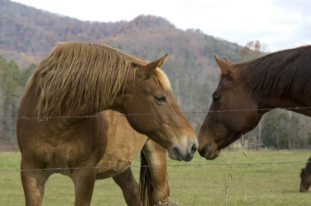 Horses In A Pasture At Cades Cove Smoky Mountains
