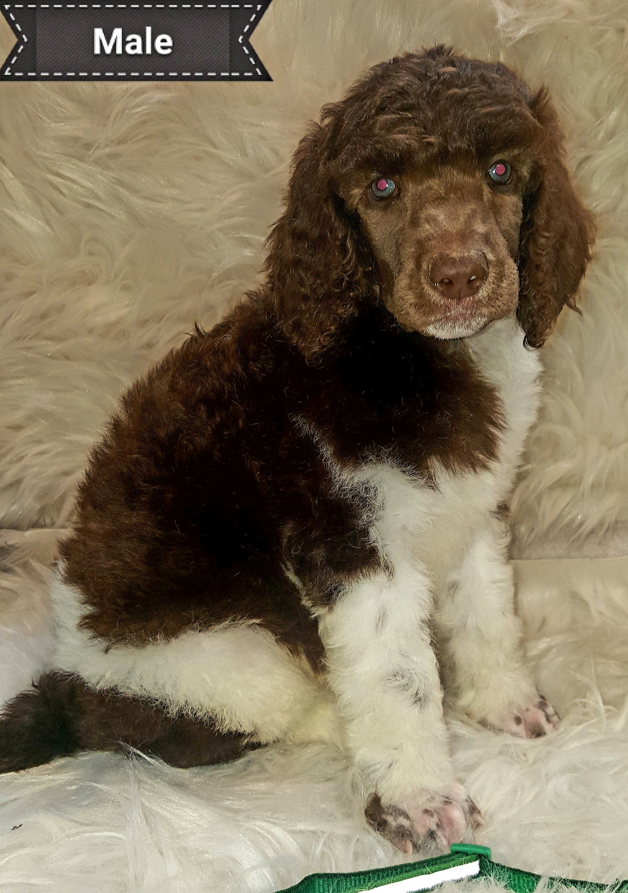 Scout Akc Standard Poodle For Sale In Seaman Ohio