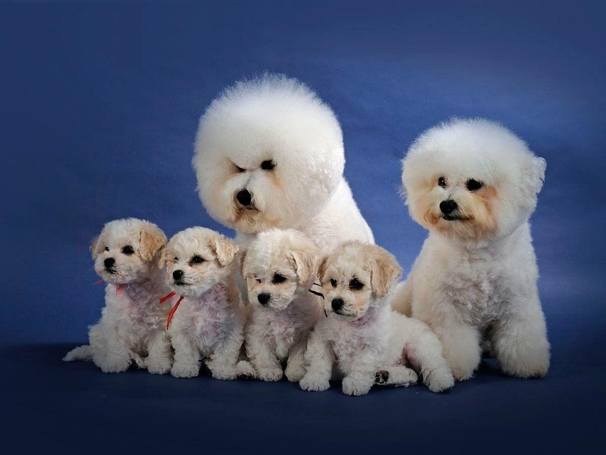 Papa Mama Broertje En Zusjes Bichon Frise Dogs Cute Animals Bichon Frise