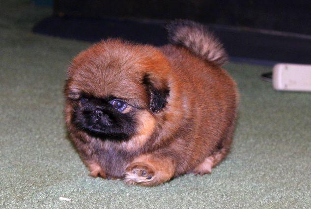 Puppy Photos - Moshka Pekingese--What a chubby little guy!