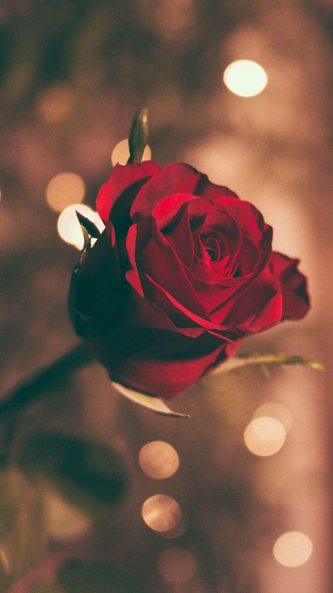 一本のバラの花 Iphonex スマホ壁紙 待受画像ギャラリー バラの壁紙 壁紙 薔薇 バラ 赤