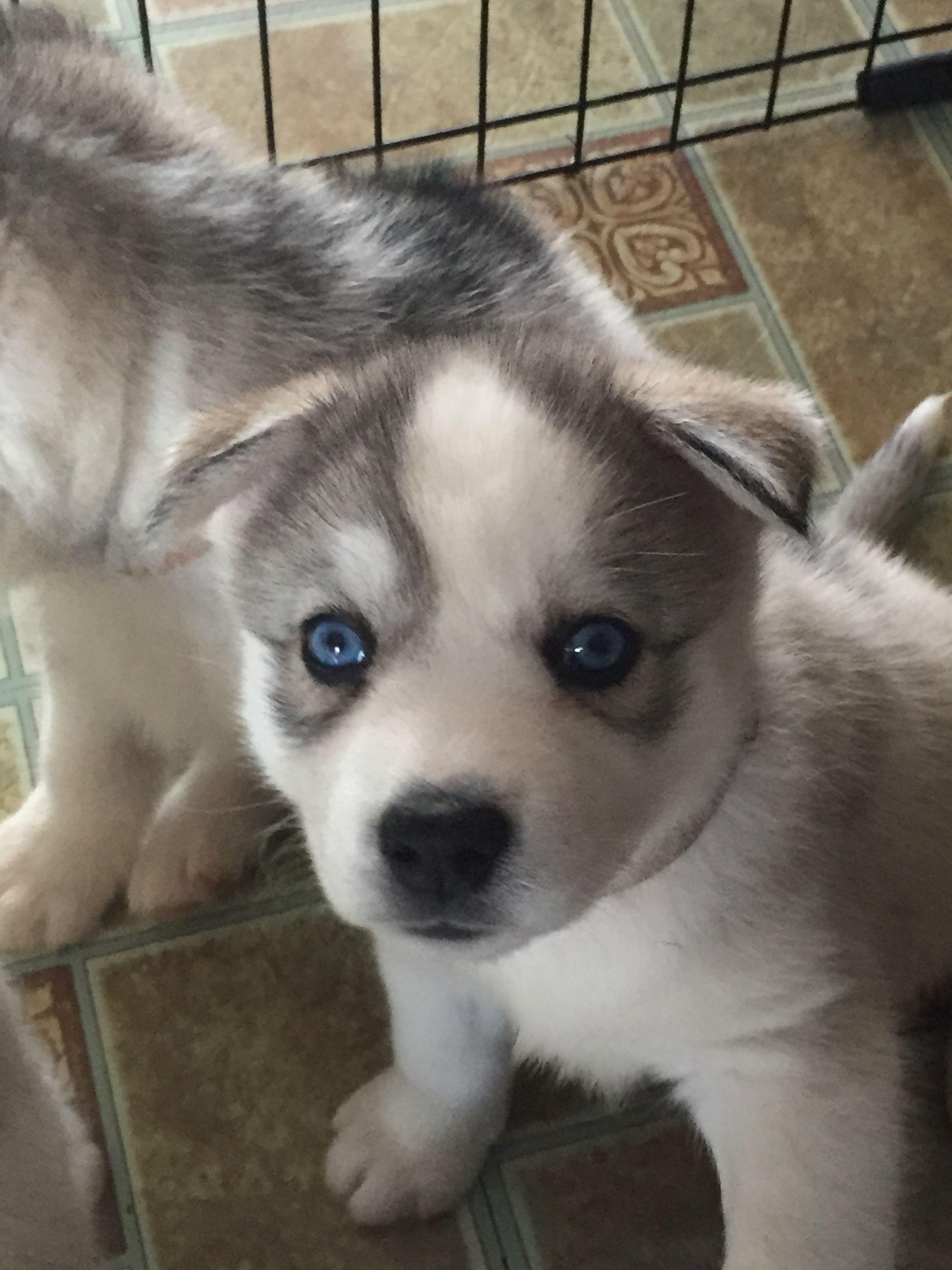 5 Week Old Husky Puppy Husky Siberian Husky Husky Puppy