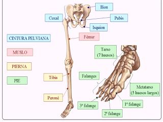 Cuerpo las del inferiores humano extremidades de musculos
