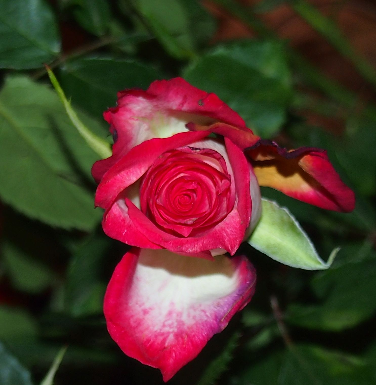 Rose - weiß mit rotem Rand