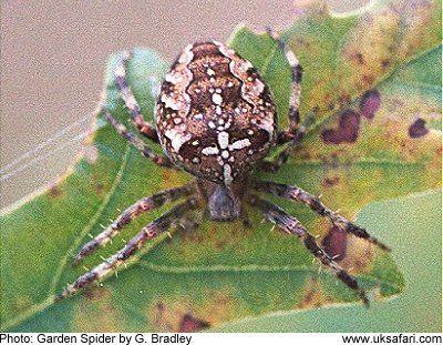 Poisonous Spiders UK | Ones to Avoid | Aracnidos | Pinterest ...