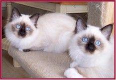 Silkencats Birman Kittens Growth Birman Kittens Kittens Kitten Care