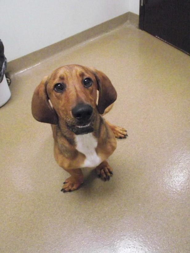 Meet Reggie #150569, a Petfinder adoptable Basset Hound Dog | Lebanon, OH | This is just one of the great pets at the shelter waiting for a home. We have dogs and cats...