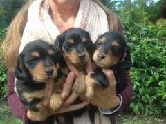 Mini Dachshund Puppy Long Haired Medium Coat Dachshund Puppies