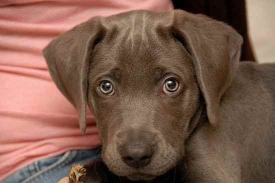 Photo Of Duke The Labmaraner Lab Mix Puppies Cool Pets Cute Dogs