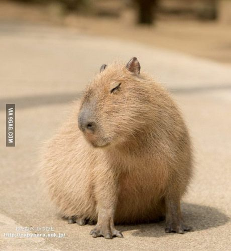 A Very Flirty Capybara 9gag Cute Pinterest Capybara Cute