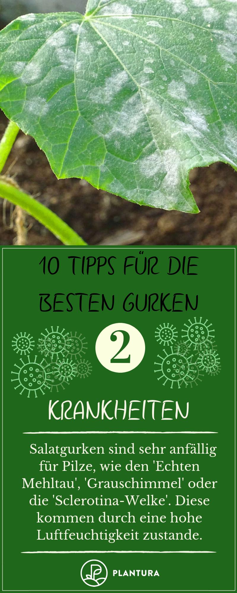 10 Tipps für die besten Gurken aus dem eigenen Garten #anbauvongemüse