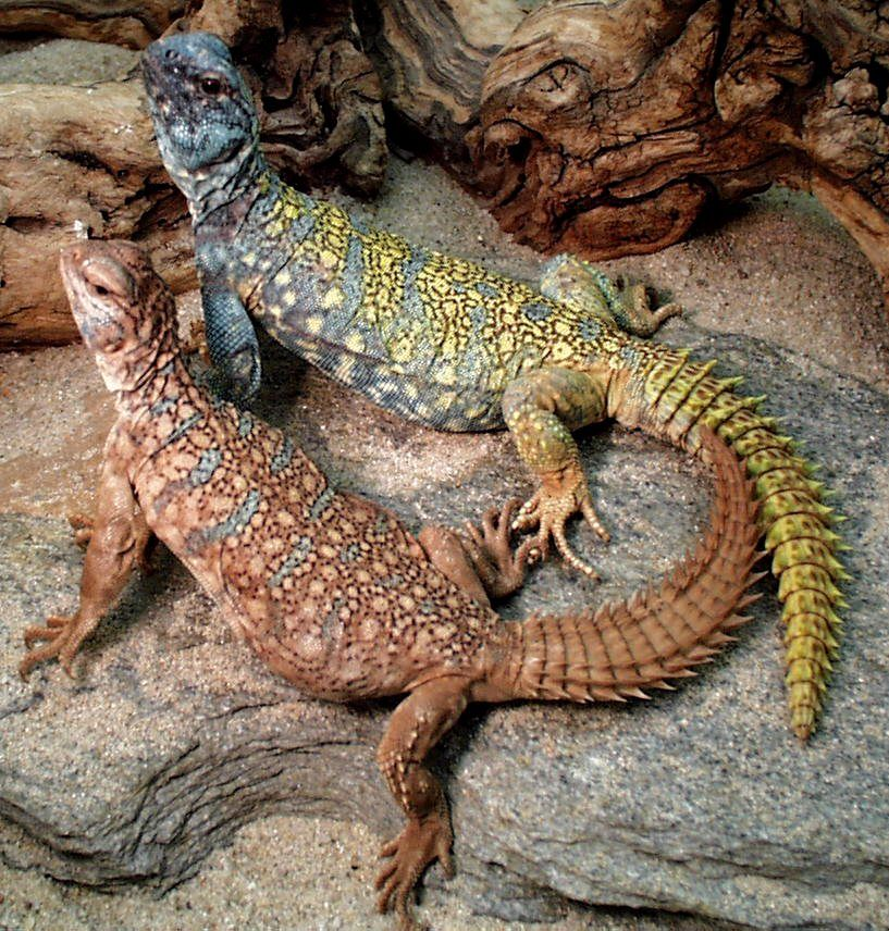Pin by Kimi Harris on Lizards | Uromastyx lizard ...