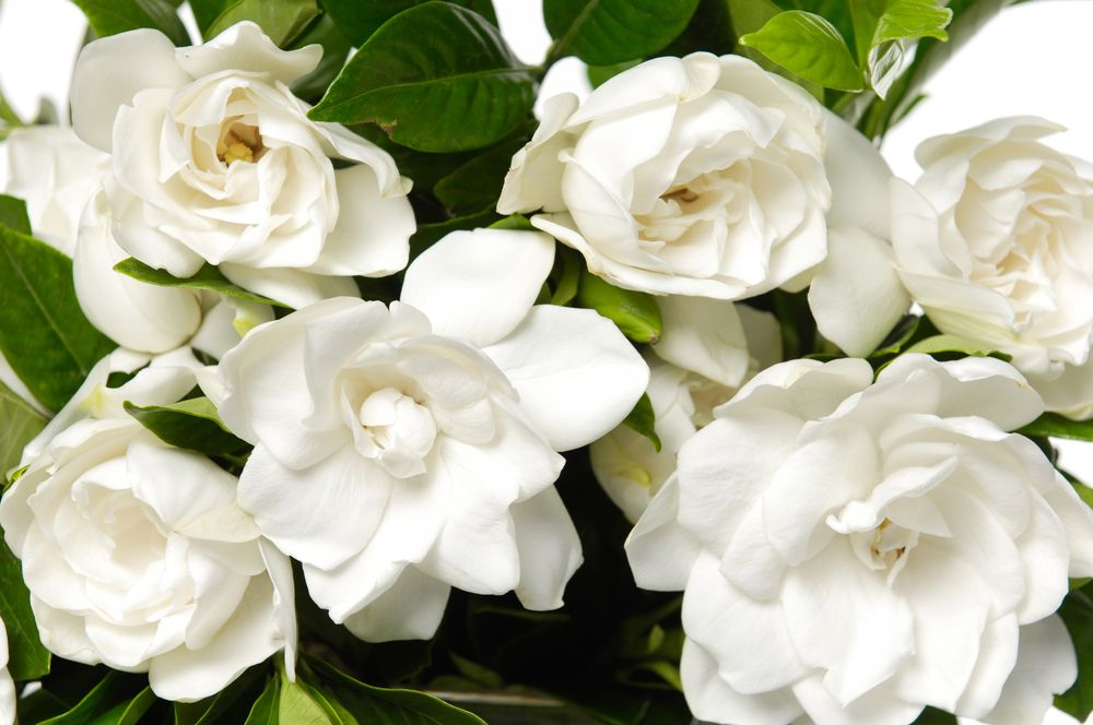 The Different Types Of Gardenias Gardenia Plant Flower Meanings Plants
