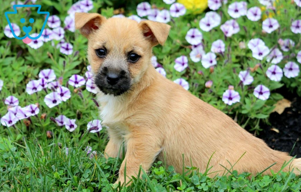 Barney Cairn terrier puppies, Puppies for sale, Cairn