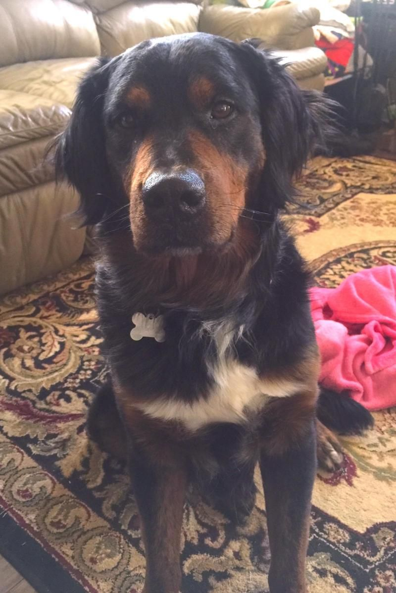 Adopt Overall on Fur babies, Dog search, Rottweiler mix