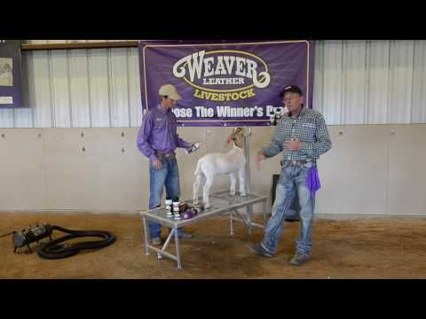 Fitting Your Goat for Show Day - YouTube | Goat | Boer goats