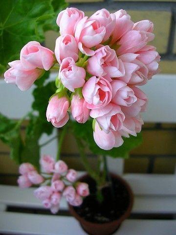 герань тюльпановидная фото где купить семена