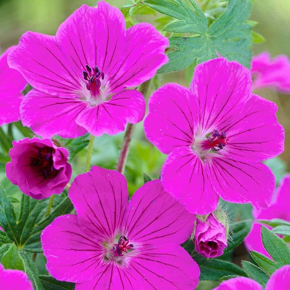 Possibly the longest flowering dwarf ground cover geranium this possibly the longest flowering dwarf ground cover geranium this versatile and fast growing perennial dhlflorist Image collections