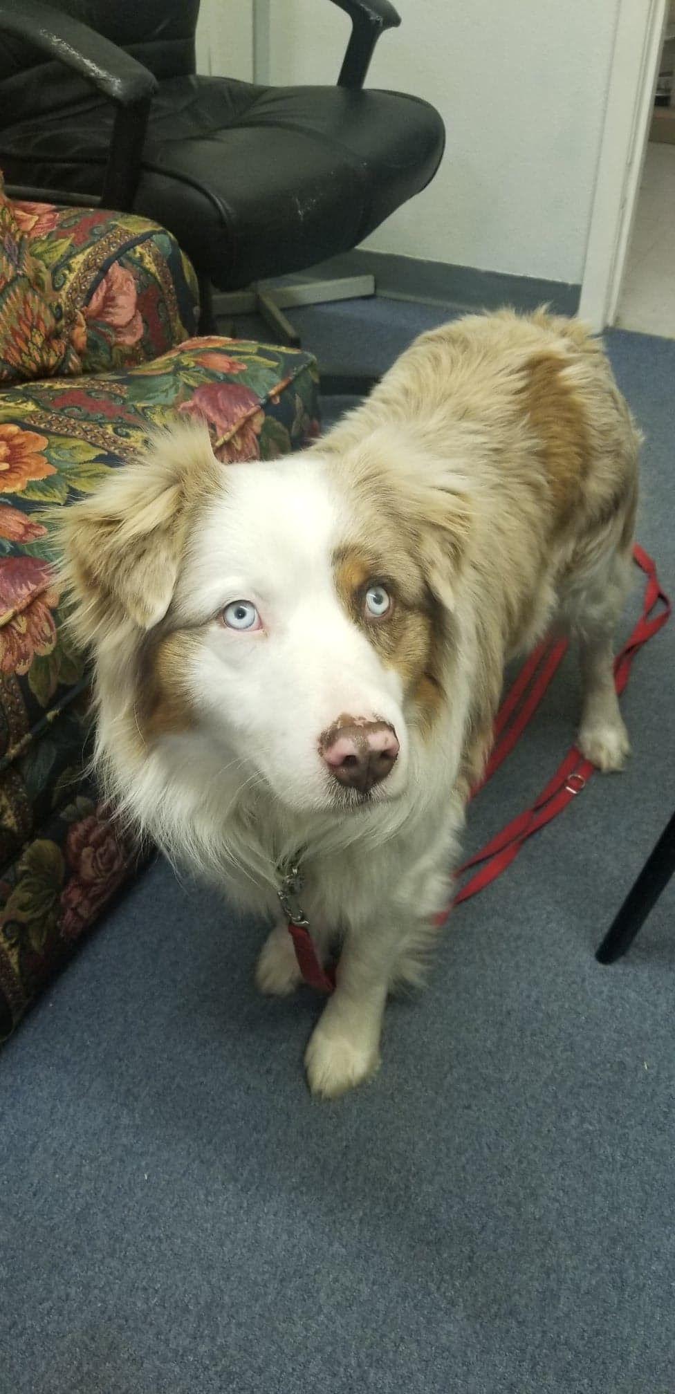 Adopt Quigley on Australian shepherd, Pets, Border