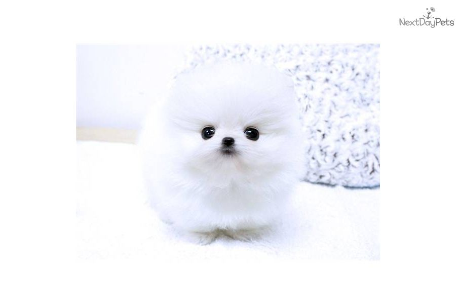 Meet Mercedes A Cute Pomeranian Puppy For Sale For 6 500