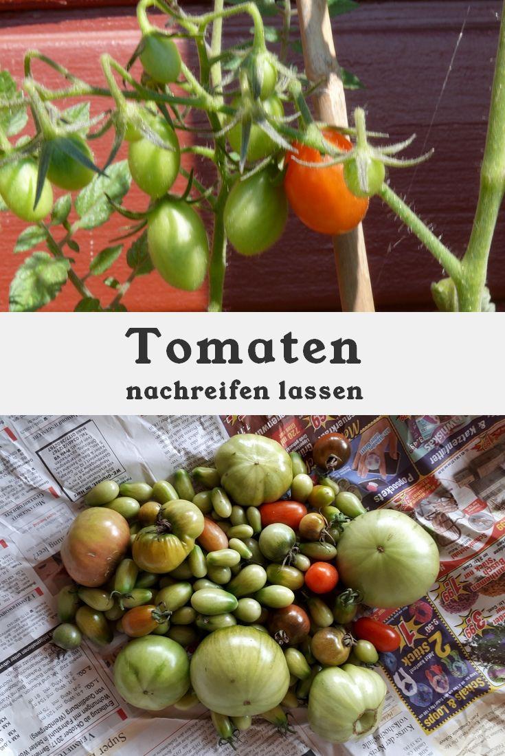 Nachreifen Von Tomaten