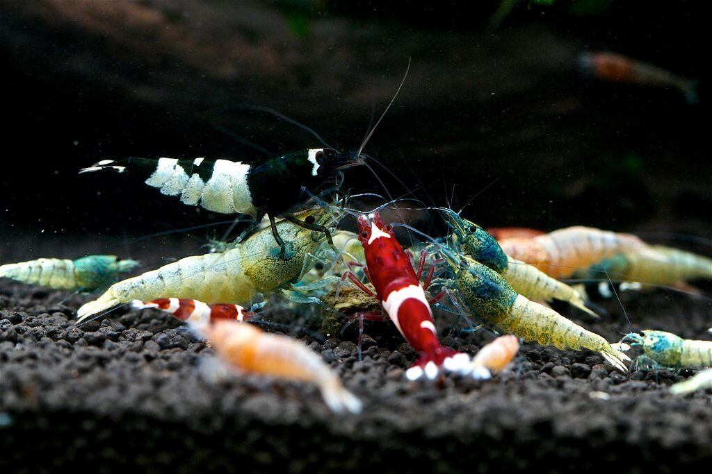 Feeding Taiwan Bee Shrimps | Shrimp tank, Rare fish, Shrimp