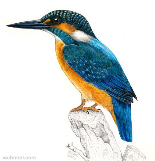 Color pencil sketch · 30 beautiful bird drawings and art works for your inspiration read full article http