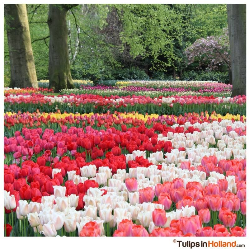 Happy Friday Tulips In Holland Beautiful Flowers Garden Springtime Pictures Tulips Garden