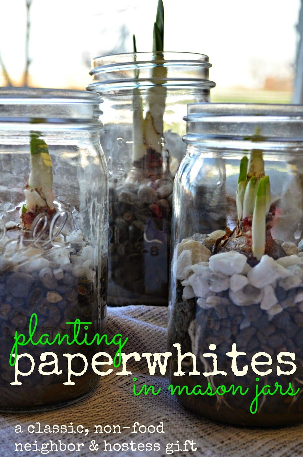 Paperwhites planted in Mason Jars an awesome, budget
